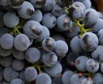 Bildo de vinbero